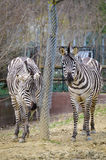 Zebra - Equus quagga Royalty Free Stock Photography