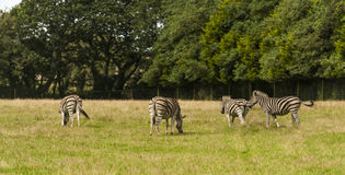 Zebra ( Equus zebra ) Royalty Free Stock Images