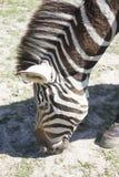Zebra, Equus zebra Stock Photo