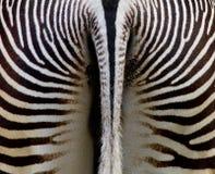 Zebra erachter Royalty-vrije Stock Afbeeldingen