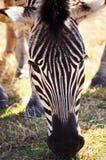 Zebra-Essen stockfoto