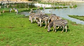 A zebra está comendo a grama imagem de stock royalty free