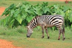 A zebra está comendo gramas Imagens de Stock