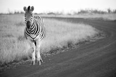 A zebra está em uma estrada de terra em preto e branco Fotografia de Stock Royalty Free