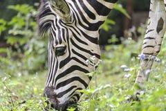 A zebra estava pastando, fim acima do retrato deste animal bonito imagem de stock