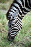 Zebra in Etosha Royalty Free Stock Image