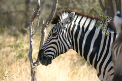 Zebra from Etosha Africa Royalty Free Stock Photography