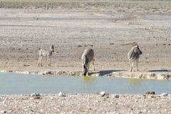 Zebra - Etosha, Namíbia Imagens de Stock Royalty Free