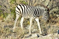 Zebra - Etosha, Namibia Zdjęcia Stock