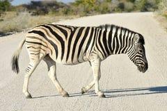 Zebra - Etosha, Namibia Zdjęcia Royalty Free