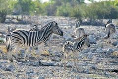 Zebra - Etosha, Namibia Zdjęcie Royalty Free