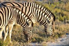 Zebra - Etosha, Namibia Fotografia Royalty Free