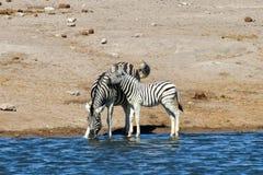 Zebra - Etosha, Namibia Obrazy Royalty Free
