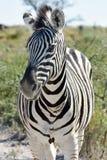 Zebra - Etosha, Namibia Fotografia Stock