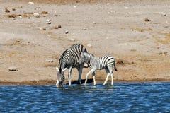 Zebra - Etosha, Namibia Obrazy Stock