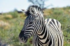 Zebra - Etosha, Namibia Obraz Royalty Free