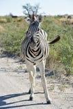Zebra - Etosha, Namibia Obraz Stock