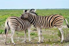 Zebra in Etosha, Namibia Royalty Free Stock Images