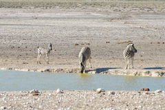 Zebra - Etosha, Namibia. Zebra at a watering hole in Etosha National Park, Namibia Royalty Free Stock Images