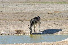 Zebra - Etosha, Namibia. Zebra at a watering hole in Etosha National Park, Namibia Royalty Free Stock Image