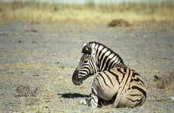 Zebra, Etosha National Park, Namibia. A Burchell (or plain) zebra is sitting on the ground Stock Images