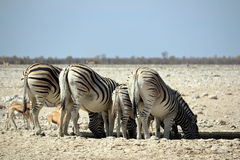 Zebra in Etosha. National Park, Namibia Royalty Free Stock Photos