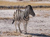 Zebra. In the Etosha National Park, Namibia Royalty Free Stock Photography