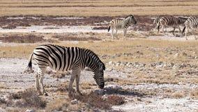 Zebra. In the Etosha National Park, Namibia Stock Images