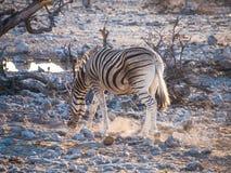 Zebra. In the Etosha National Park, Namibia Stock Image