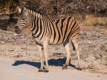 Zebra. In the Etosha National Park, Namibia Royalty Free Stock Photos