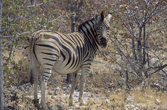 Zebra in etosha park Stock Images