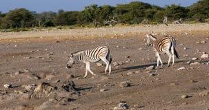 Zebra in Etosha waterhole, Namibia wildlife safari. Burchells zebra in african bush on waterhole, Etosha national Park, Green vegetation after rain season stock footage