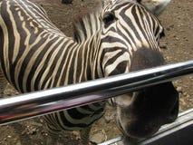 A zebra Stock Images
