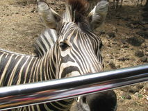 A zebra. Expecting a treat from a tourist in Mauritius Casela Nature Park Stock Images