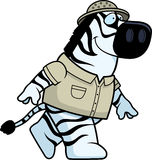 Zebra Explorer Walking Stock Photos