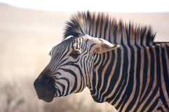 Zebra Expression. Image of Zebra pinning ears back as a sign of aggression Stock Image