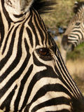 Zebra eye 1 Stock Photography