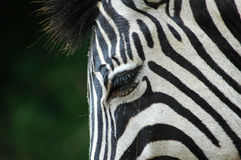 Zebra eye. A zebra eye in the rain in a game park in South Africa Royalty Free Stock Photos