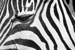 Zebra eye. Close up of a zebra eye Stock Photo