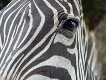 Zebra Eye. Closeup of a zebra's eye Stock Photography
