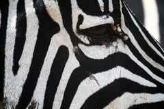 Free Zebra Eye Royalty Free Stock Photography - 47968787