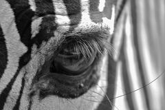 Zebra Eye. Zebras are African equids best known for their distinctive white and black stripes. Their stripes come in different patterns unique to each individual Stock Images