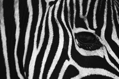 Zebra Eye. Burchells Zebra's close up eye. Great background for pc, or even home decor Stock Photo