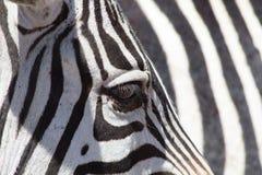 Zebra eye Royalty Free Stock Images