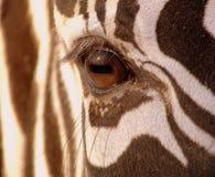 Zebra eye Royalty Free Stock Photo