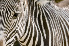 Zebra eye with her skin pattern Stock Images