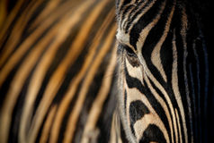 Zebra Eye and Stripes Royalty Free Stock Photography