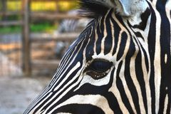 Zebra eye Royalty Free Stock Images