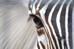 Zebra eye. At a zoo with a close up picture of a zebra eye Stock Photo