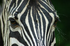 Zebra eyes Stock Images